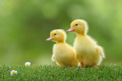 Duckling four royalty free stock photos
