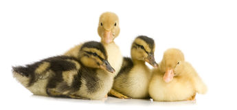 Duckling four days Royalty Free Stock Photo