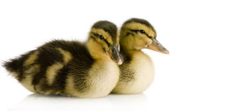 Duckling four days Royalty Free Stock Image