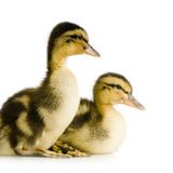 Duckling four days Royalty Free Stock Photography