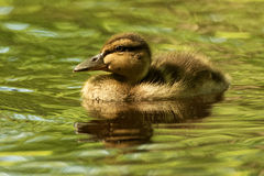 Duckling Glint. Duckling on green pond with eye glint royalty free stock photo