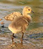 Duckling Royalty Free Stock Images