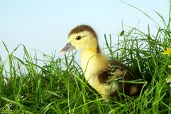 Duckling in grass Stock Photo