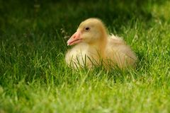 Duckling in grass Stock Photography