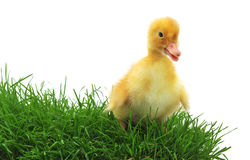 Duckling in grass. Royalty Free Stock Images