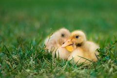 Duckling on grassfield stock images