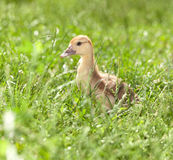 Duckling on green grass Royalty Free Stock Images