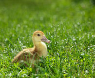 Duckling on green meadow Royalty Free Stock Images