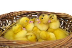 Duckling group Stock Photo