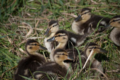 Duckling Group I Royalty Free Stock Photos