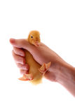 Duckling in hand Stock Images