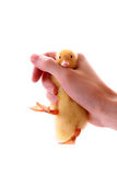 duckling on the hand Royalty Free Stock Images