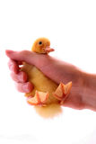 Duckling in the hand Stock Image