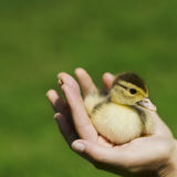 Duckling in the hand Royalty Free Stock Photos