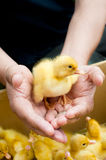 Duckling in hands Royalty Free Stock Image