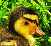 Duckling Head-shot. Newly hatched Mallard Anas platyrhynchos duckling foraging in grass, Lightoaks Park, Salford, UK, May 2018 Stock Photography