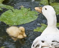 Duckling and her mum. Duckling swimming with her mum Stock Photos