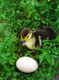 The duckling of an Indo-duck, musky duck sits in a grass near eg Stock Images