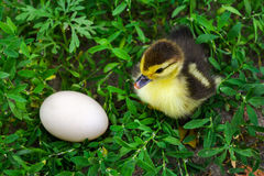 The duckling of an Indo-duck, musky duck sits in a grass near eg Stock Image