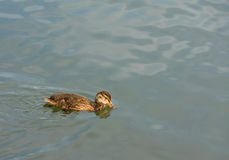 The duckling investigates a pond Stock Image