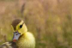 Duckling isolated in grass Royalty Free Stock Photos
