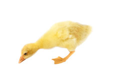 Duckling (isolated on white background) Royalty Free Stock Photo