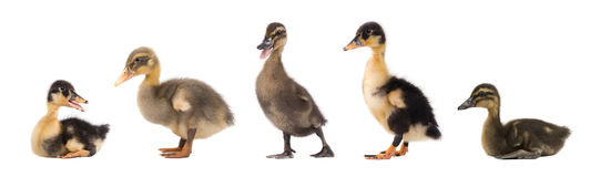 Duckling isolated on white background. Collage royalty free stock image