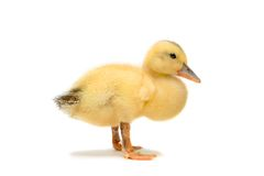Duckling isolated on white Stock Image
