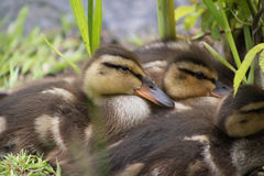 Duckling by the lake Royalty Free Stock Photos
