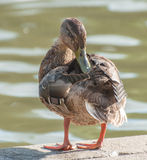 Duckling by the lake Royalty Free Stock Images