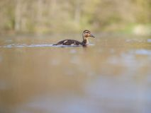 Duckling on a lake. A duckling swimming on a lake on a sunny day Royalty Free Stock Image