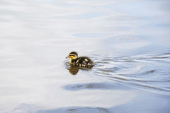 Duckling on lake. A tiny duckling swimming across a lake Royalty Free Stock Image