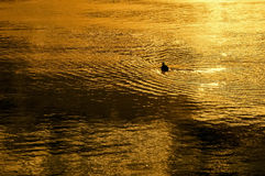 A duckling in the lake under the setting sun. Royalty Free Stock Image