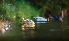 Duckling on Lakeside with Parents. A fluffy duckling is getting out of a lake near some blue flowers while the parents can be seen in defocus in the background Royalty Free Stock Images