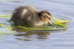 A duckling on a lily pad. A duckling floating on a lily pad on the Ornamental Pond, Southampton Common, Hampshire, UK Royalty Free Stock Photos