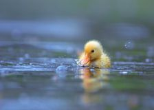 duckling little Royaltyfria Foton