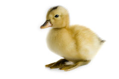 duckling little Royaltyfri Bild