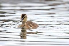 Duckling. A little mallard duckling (Anas platyrhynchos) swimming on a pond Royalty Free Stock Photos