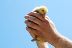 Duckling Stock Image