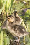 A  duckling on a log at the Ornamental Pond, Southampton Common Stock Photography