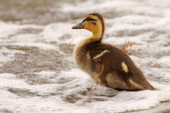 Duckling Looking Across Waves Stock Images