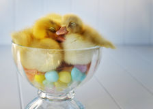 Duckling Love Royalty Free Stock Image