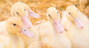 duckling många Arkivbild