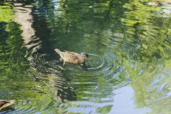 Duckling of Mallard duck swims in pond. Duckling of Mallard duck swims in summer pond Royalty Free Stock Photography