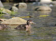 Duckling. Mallard duck youngster swimming in the water Stock Photography