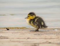 Duckling. Mallard duckling by a lake Stock Photos
