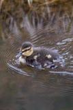 Duckling. Mallards duckling swimming Stock Image