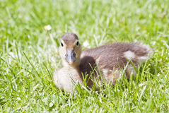 Duckling Mandarin Duck Royalty Free Stock Photos