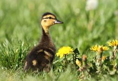 Duckling on meadow Royalty Free Stock Images