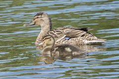 A duckling and mother on the water Royalty Free Stock Images